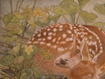 A photo of Turtle Woods: Fawn in Marsh Marigolds 2011